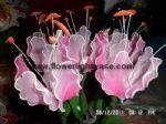 ดอกดาวดึงส์สีชมพู+ขาว